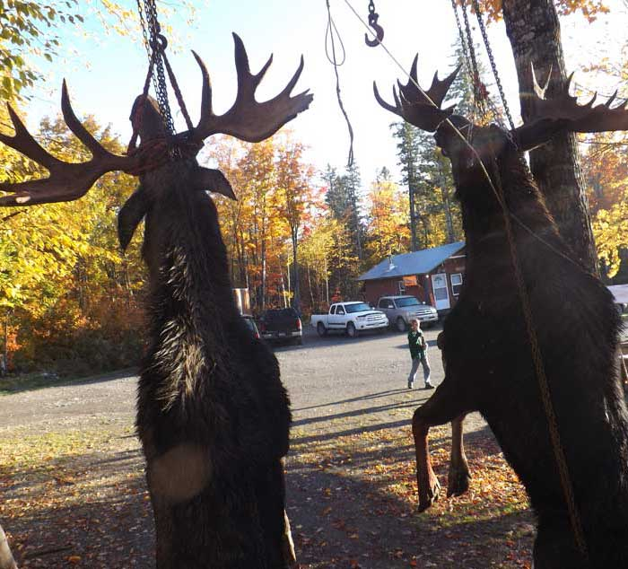 Guided Moose hunting in Maine